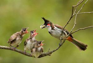 4 loại thức ăn nuôi chim chào mào để chúng có sức khỏe tốt nhất