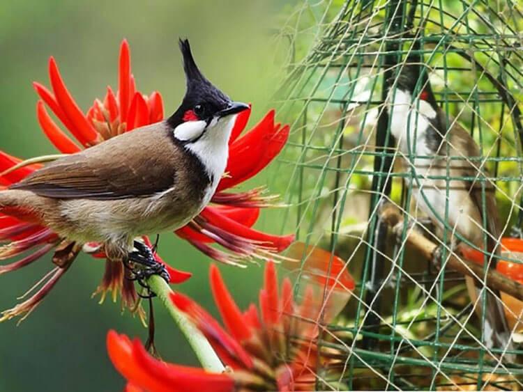 Cám chim là thức ăn phổ biến của chim chào mào