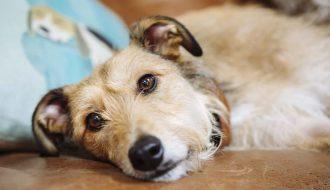 Chia sẻ cách hạ sốt cho chó của bác sỹ thú y