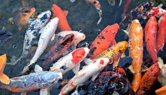 5 bệnh thường gặp ở cá Koi - Biểu hiện và cách điều trị