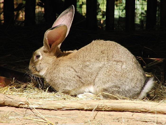 Thỏ dùng tai để phát hiện kẻ thù