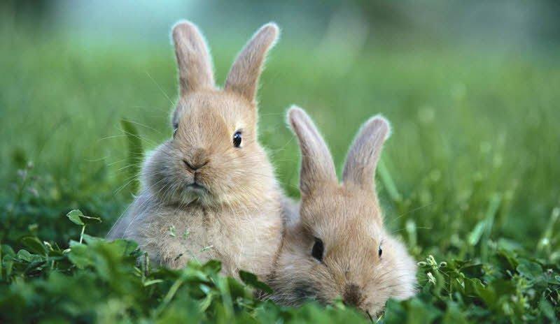 Cần chú trọng về thức ăn để phòng ngừa bệnh đường ruột cho Thỏ