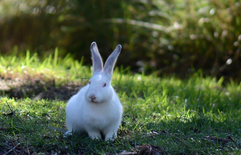 Thỏ có chiếc tai đặc trưng