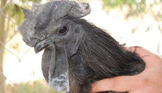 6 điều cần biết về giống gà mặt quỷ đến từ Indonesia