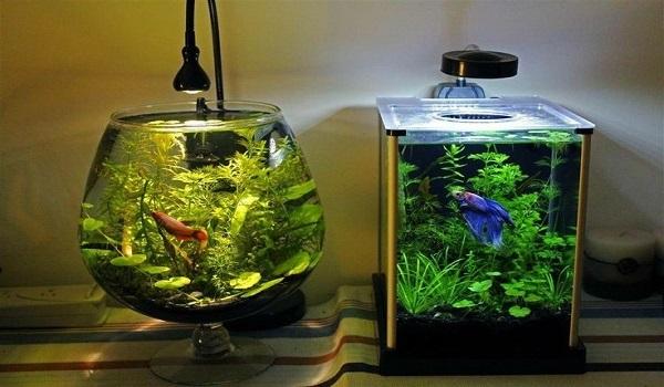 nuôi cá cảnh trong bình thủy sinh