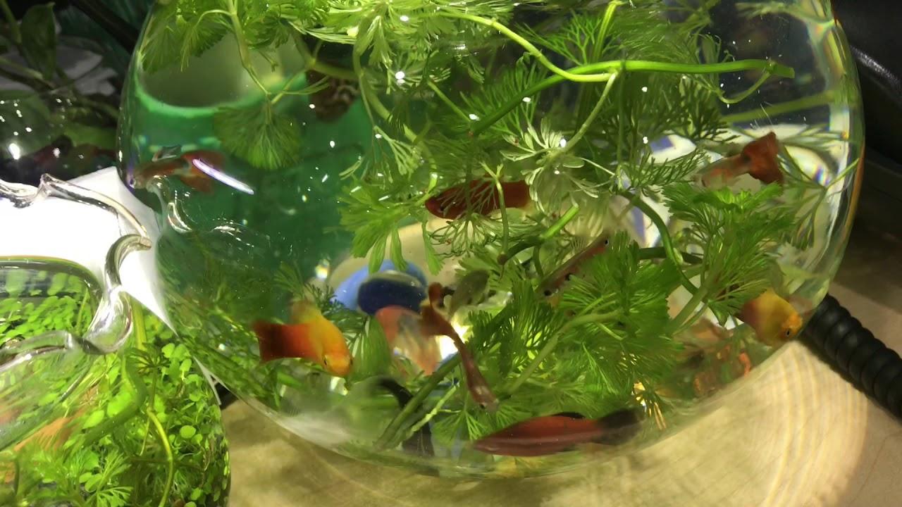 Cách kết hợp cá trong bình thủy sinh
