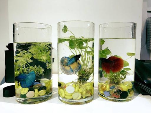 Kỹ thuật nuôi cá cảnh trong bình thủy sinh mini