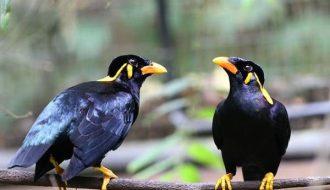 Bạn đã biết cách luyện giọng hay cho chim Sáo?