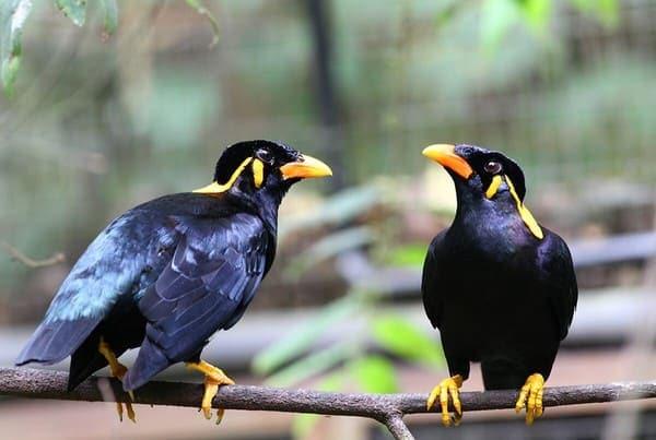 Chim sáo nhại giọng người khá chuẩn
