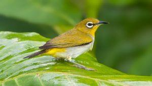 Bật mí kỹ thuật chăm sóc cho chim vàng khuyên thay lông