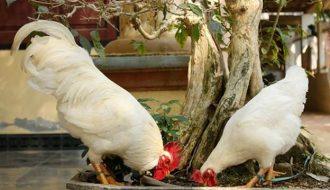 Bật mí kỹ thuật nuôi gà chín cựa tiến vua hiệu quả