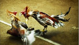 Bật mí những bài luyện võ cho gà chọi trước khi đưa đi thi đấu