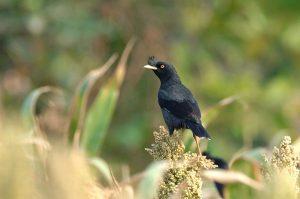 Tìm hiểu về chim sáo