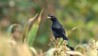Bật mí những điều bí ẩn về chim sáo