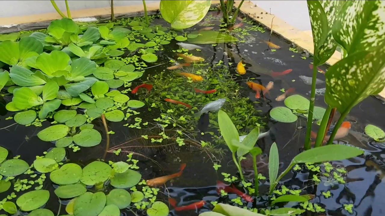 nuôi cá bảy màu trong bể xi măng