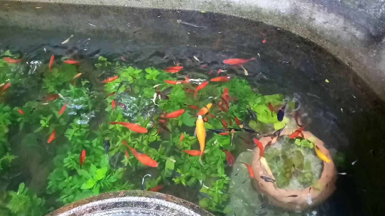 chăm sóc cá bảy màu