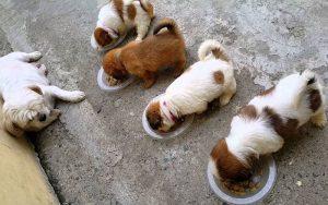 Thức ăn chó con