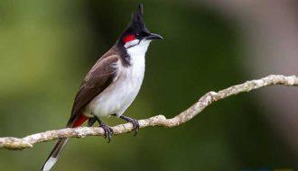 Bí quyết nuôi chim chào mào hiệu quả được nhiều người sử dụng