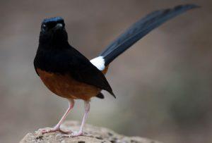 Bí quyết nuôi chim chích chòe vào mùa thay lông an toàn