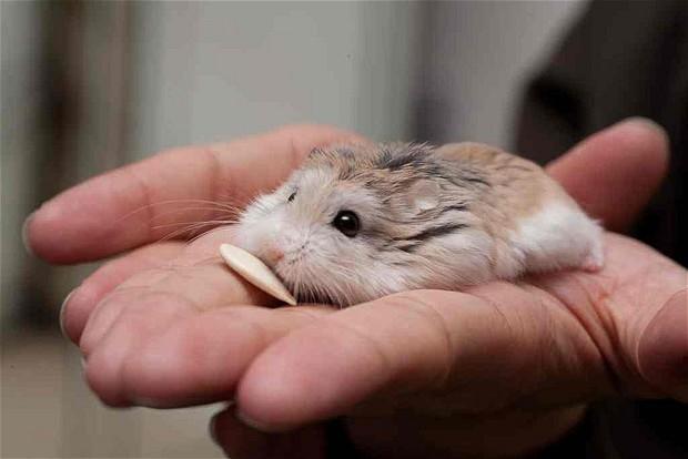 Hạt hướng dương là thức ăn ưa thích của chuột Hamster