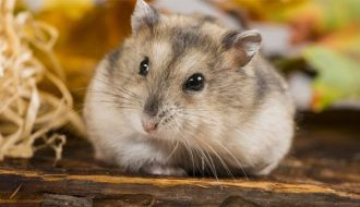 Cách nuôi chuột Hamster