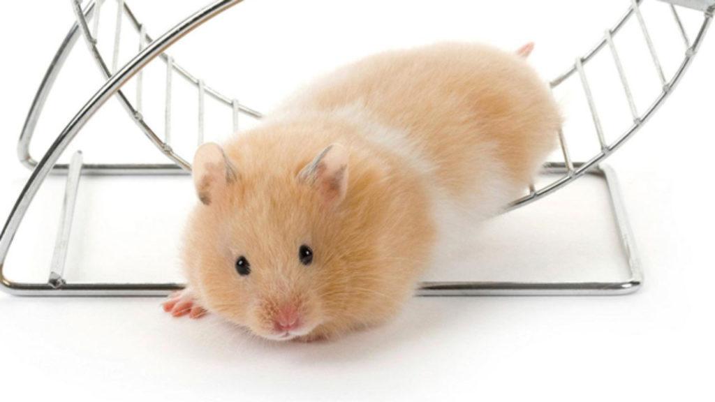 Chuột Hamster rất hiếu động