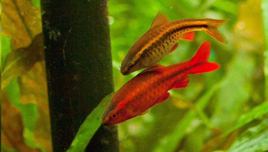 Đây là loại cá rất dễ nuôi