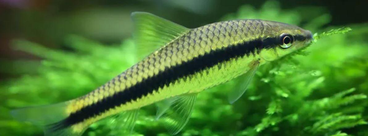 Trên mình cá có một sọc đen duy nhất
