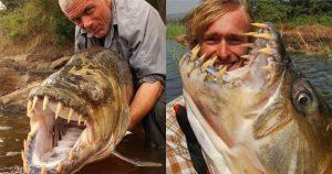 Cá hổ Congo - loại cá nước ngọt sát thủ được nhiều người nuôi