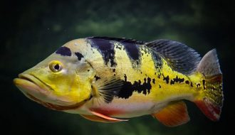 Cá Hoàng Bảo Yến - loài cá được săn lùng bởi các dân chơi cá