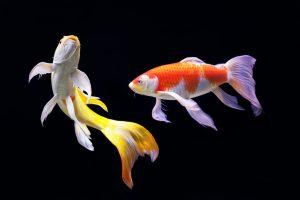 Cá Koi bướm và những điều cần biết về loài cá này