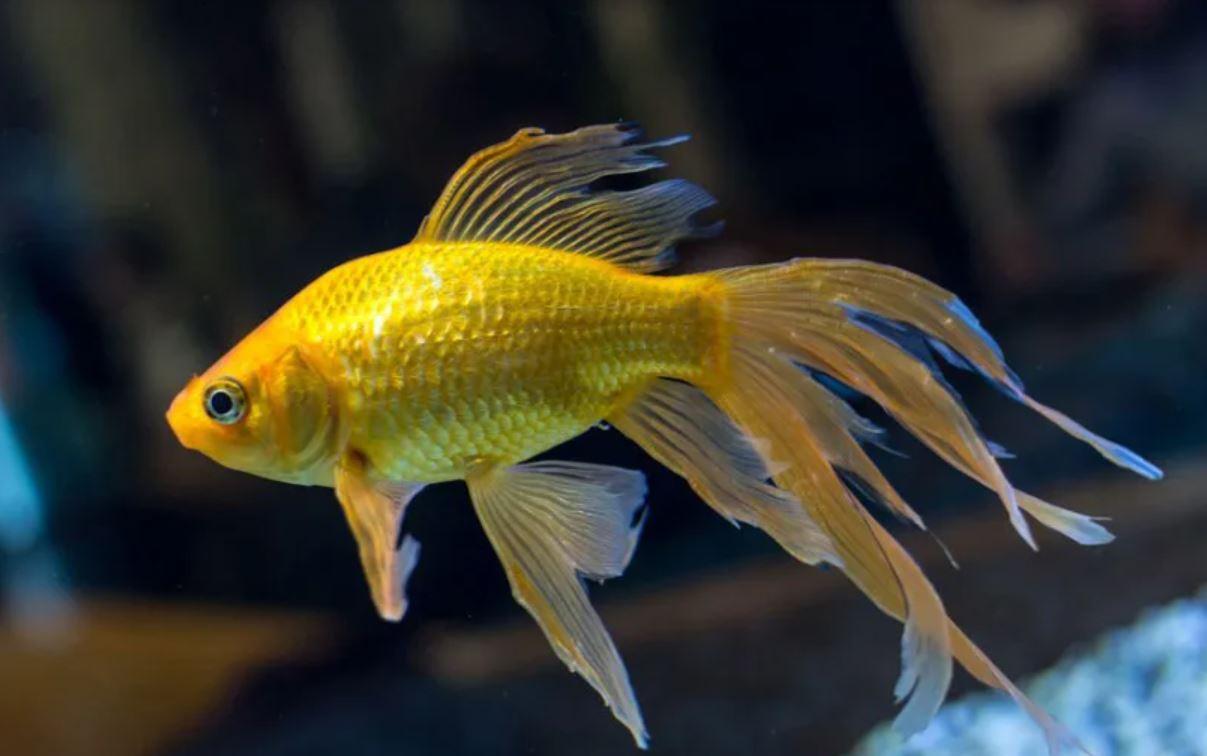 Cá vàng đuôi quạt - một sản phẩm của đột biến tự nhiên