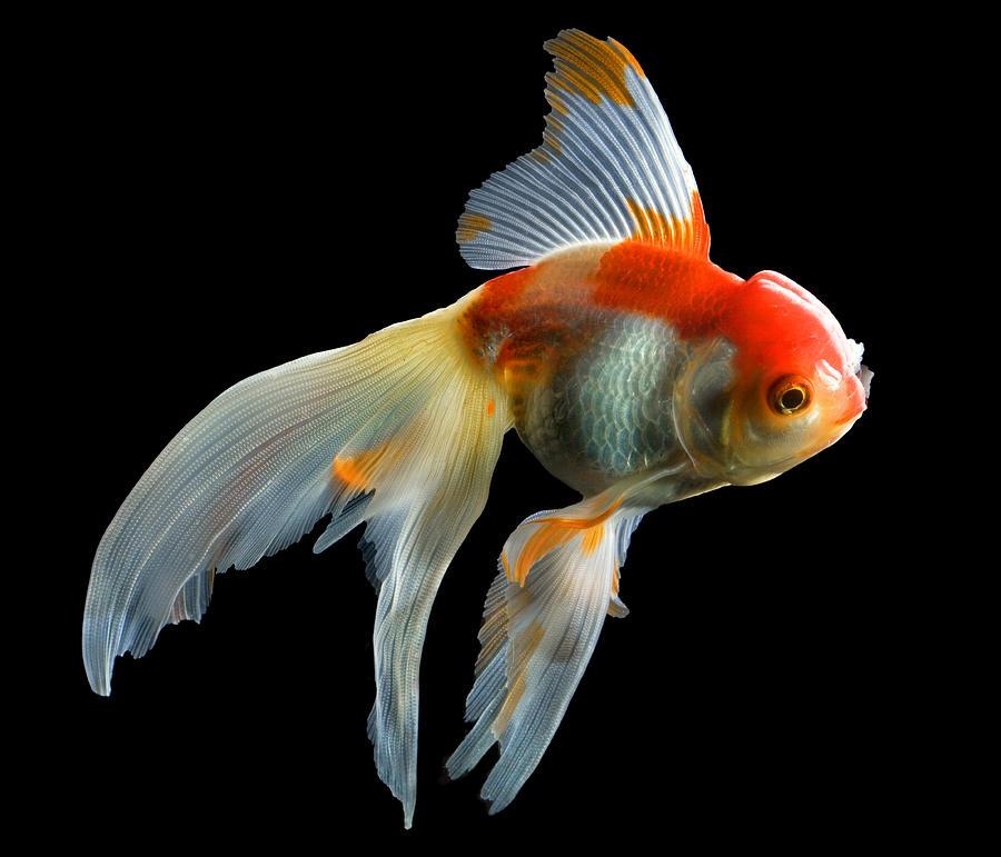 Đây là loài cá cảnh ăn tạp