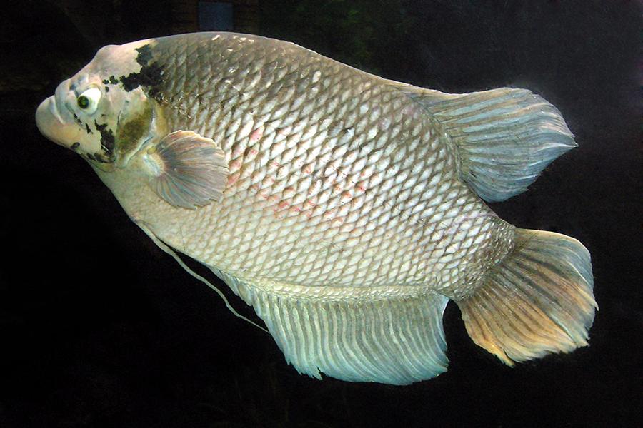 Cá Tai Tượng bị bệnh nấm thủy mi