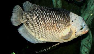 Các loại bệnh của Cá Tai Tượng và cách xử lí hiệu quả