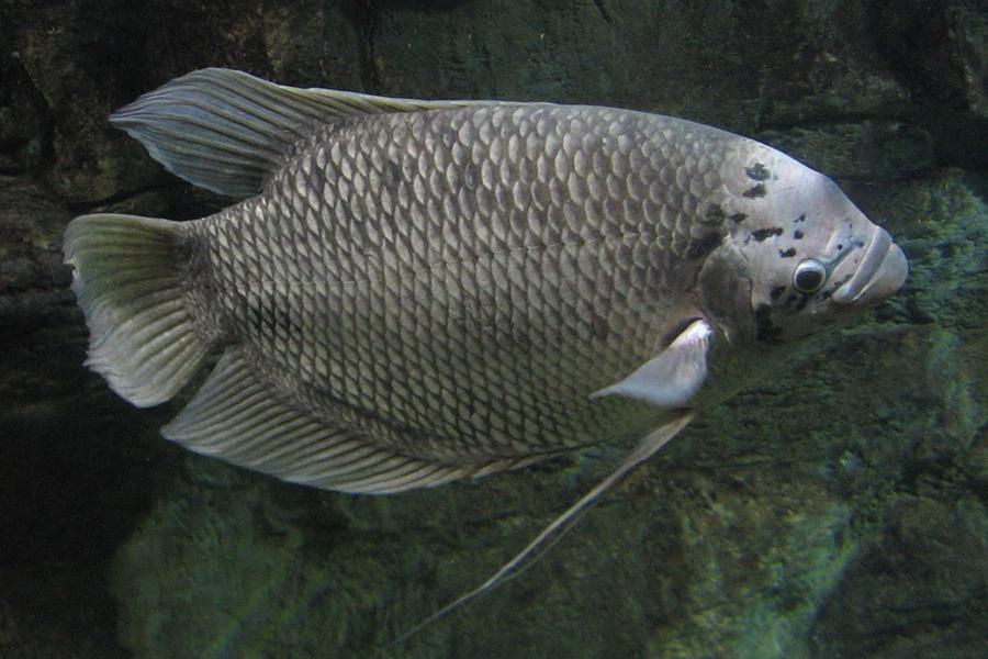 Phòng bệnh trên cá Tai Tượng do nấm gây ra