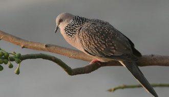 Cách chăm sóc chim Cu gáy vào giai đoạn thay lông