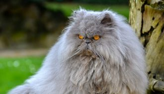 Cách chăm sóc mèo Ba Tư khỏe mạnh từ a đến z
