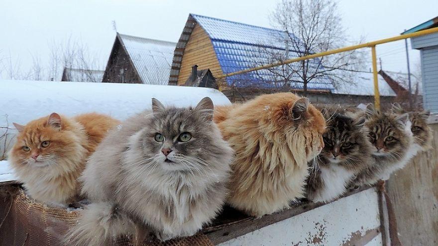 Chăm sóc mèo rừng Na Uy cần để ý đến chế độ dinh dưỡng