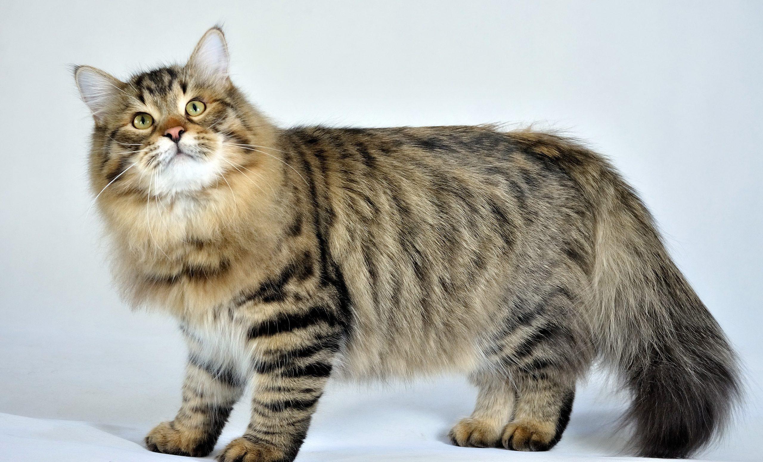 Mèo rừng Na Uy là một trong những giống mèo đắt nhất thế giới