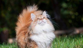 Để những chú mèo rừng Na Uy luôn khỏe mạnh, bạn cần làm gì?