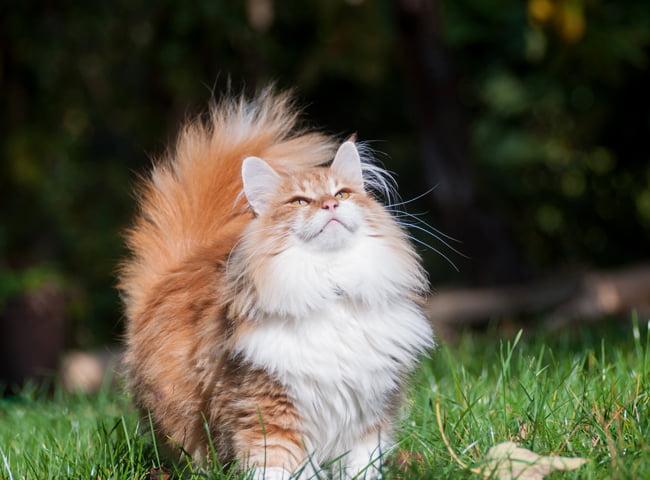 Mèo rừng Na Uy được nhiều người lựa chọn để nuôi trong nhà hiện nay