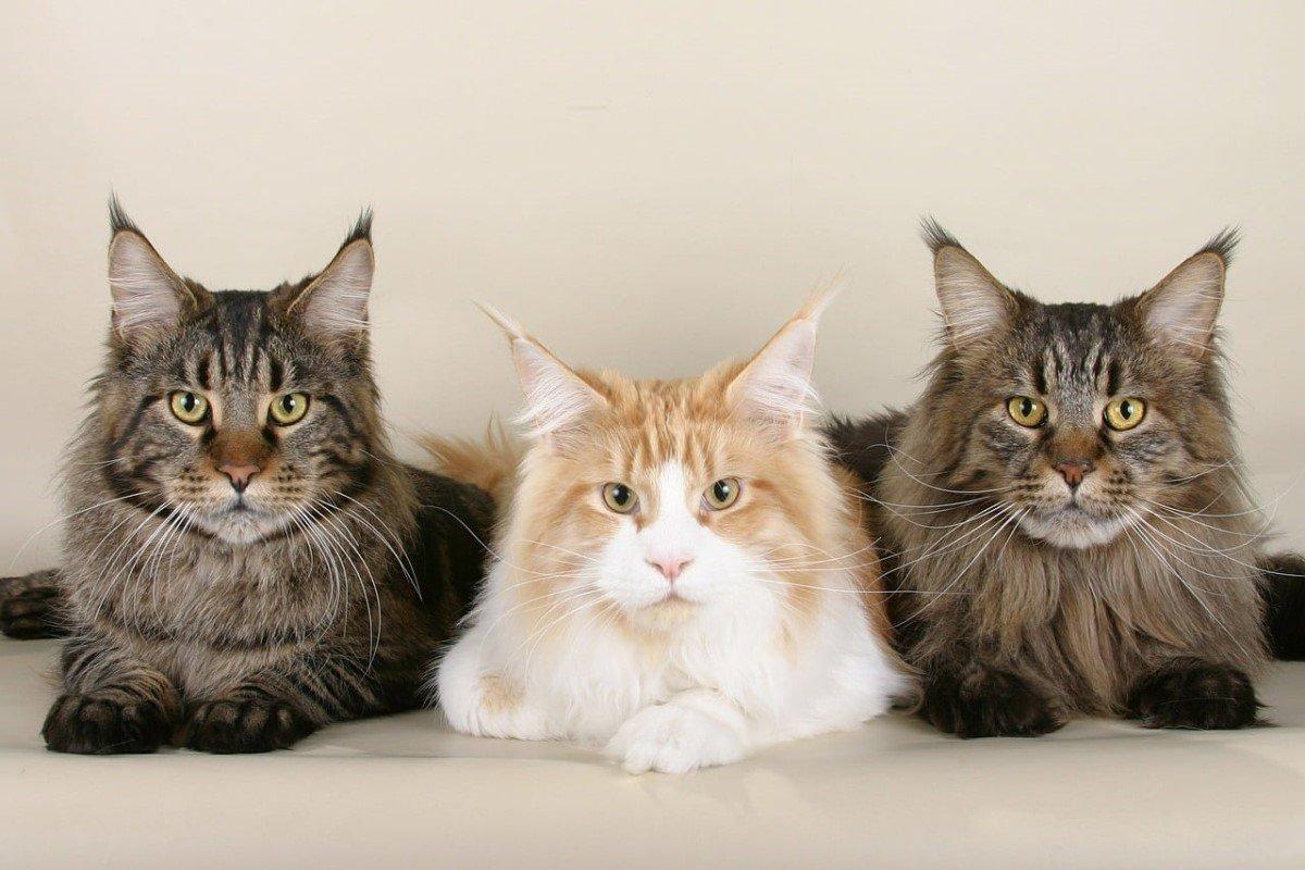 Để sở hữu chú mèo rừng Na Uy, bạn phải bỏ ra số tiền không nhỏ