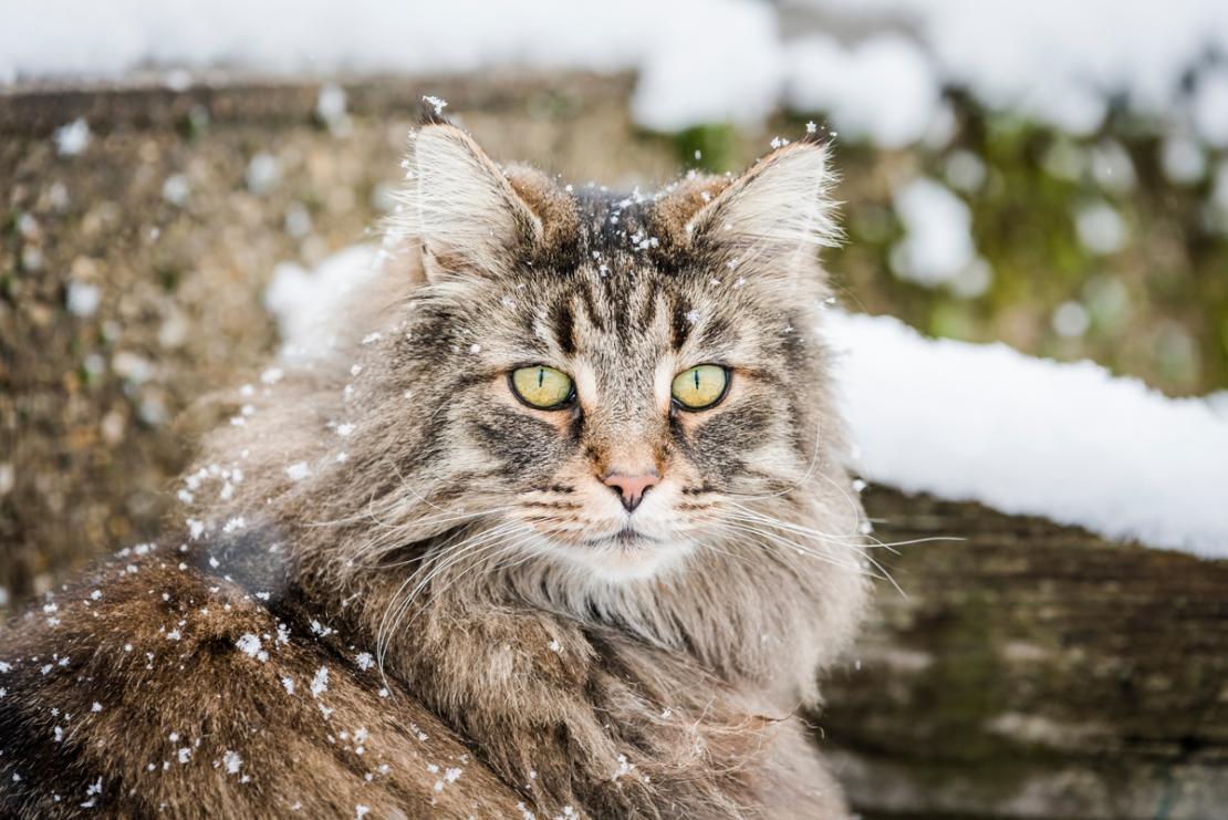 Những chú mèo rừng Na Uy có kích thước khá lớn và bộ lông dày