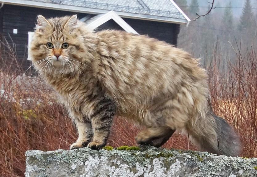Mèo rừng Na Uy sở hữu bộ lông rất dày nên bạn cần vệ sinh thật kỹ
