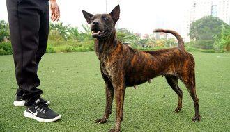 Cách nuôi chó Phú Quốc và huấn luyện để chó phát triển tốt nhất