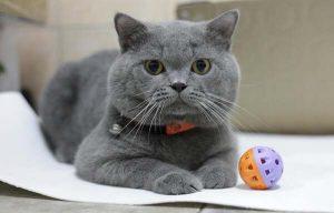 Cách phối giống chuẩn để cho ra đời mèo Anh lông ngắn xám xanh