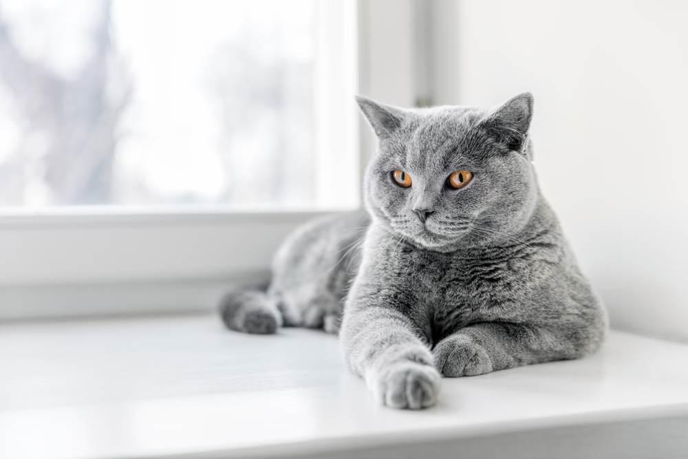 Công thức phối giống mèo ALN bố mẹ.