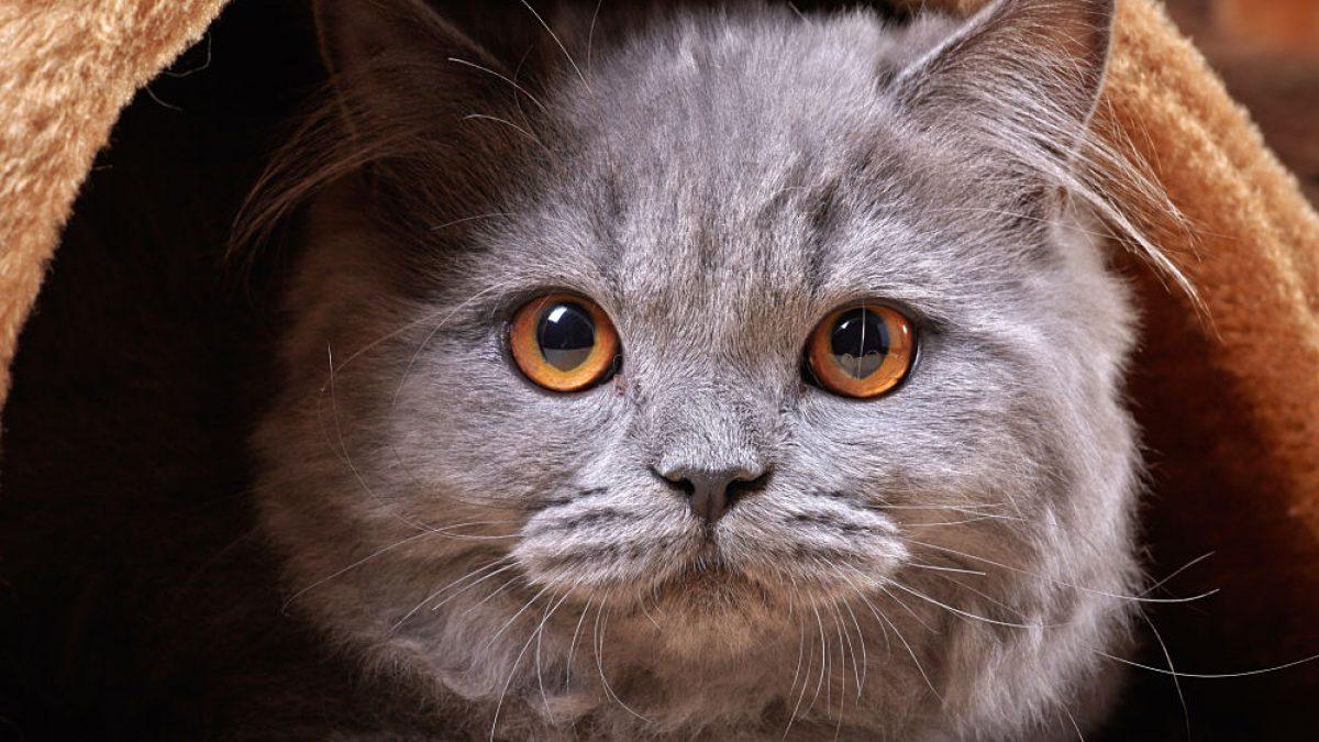 Cách tìm dịch vụ phối giống mèo ALN chất lượng tốt nhất.