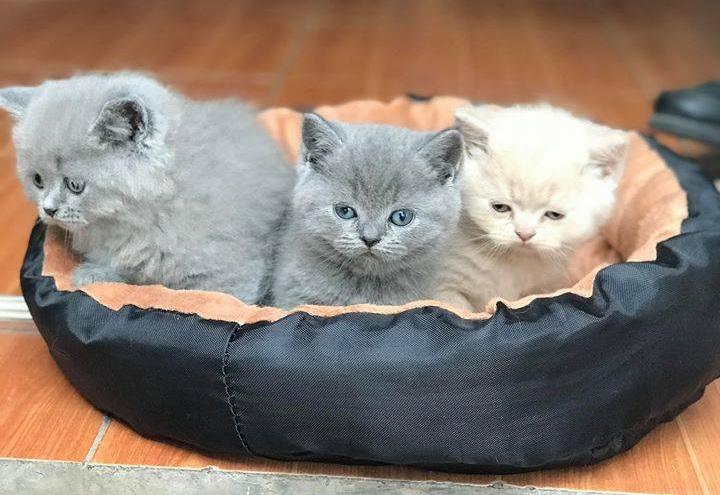 Nơi cung cấp dịch vụ phối giống mèo ALN uy tín, chất lượng.